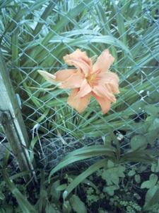 Lys en fleur