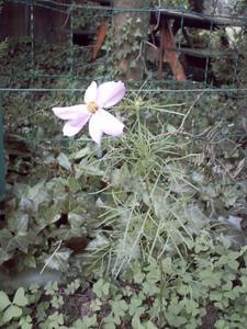 Cosmos en fleur