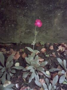 Lychnis en fleur