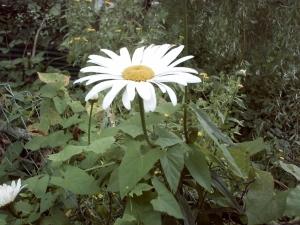 Marguerite en fleur