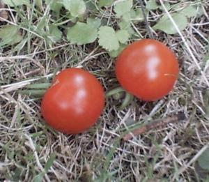 Les deux premières tomates bien mûres