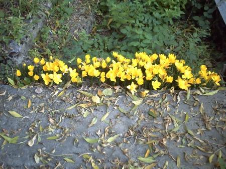colchiques en fleur, 26 septembre 2008