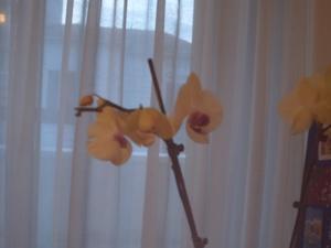 Orchidée fleurie, 16 février 2009