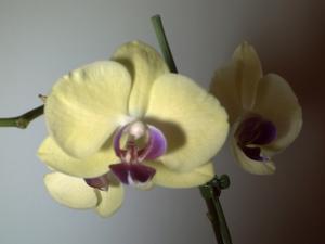 Orchidée fleurie, 18 février 2009