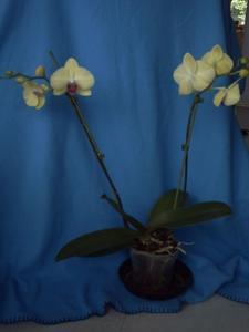 Orchidée fleurie, 8 février 2009