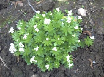 Aspérule fleurie, 20 avril 2009