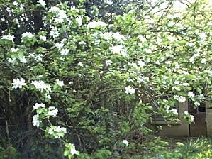 Pommier en fleurs, 20 avril 2009