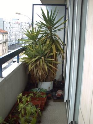 Le yucca dans son ancien pot