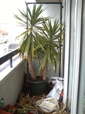 Le yucca rempoté et l'ancien pot en morceaux