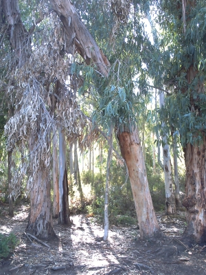 La forêt d'eucalyptus à Ajaccio, vers les sanguinaires
