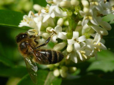 Une abeille, cliché de Jean-Claude MEMBRE, un toit pour les abeilles