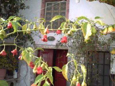 Santorin, le village de Fira, une maison fleurie