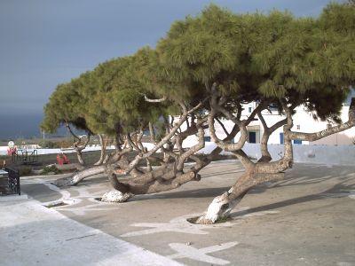 Santorin, le village de Fira, des pins couchés par le vent