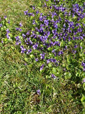 Des violettes à Confolens, vues de loin