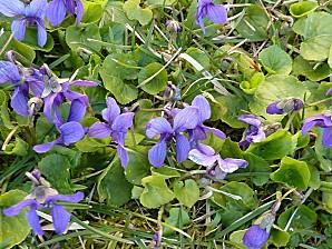 Des violettes à Confolens, vues de près