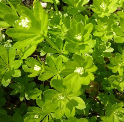 Mon jardin le 11 avril 2010, l'aspérule
