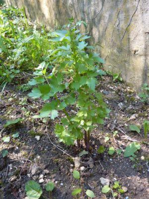 Mon jardin le 11 avril 2010, la livêche