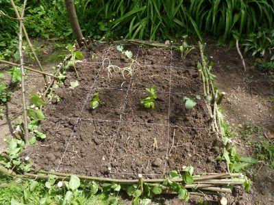 Le carré avec ses plantations
