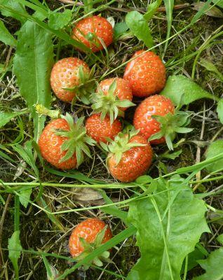 Mon jardin le 5 juin 2010, quelques fraises