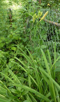 Mon jardin le 5 juin 2010, les hémérocalles presque fleuries