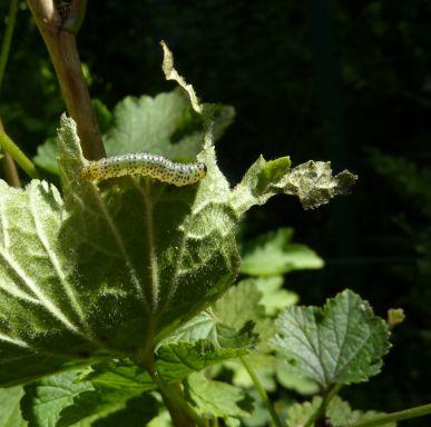 Mon jardin le 12 juin 2010, une chenille de piéride du chou sur une feuille de groseiller