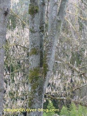 Poitiers, 12-15 mars, 3, jardin des plantes, fourche d'un érable
