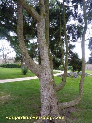 Poitiers, 12-15 mars, 5, jardin des plantes, arbre fourchu