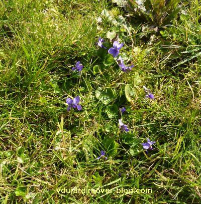 6 mars 2011, 3, violettes à Ligugé