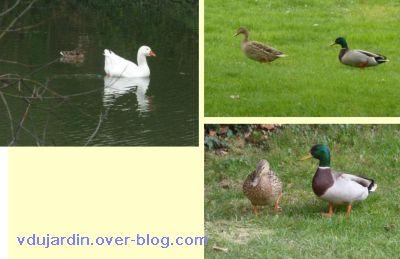 Printemps 2011, 3, cygne et canards
