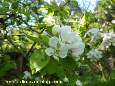 Mon jardin le 9 avril 2011, pommier