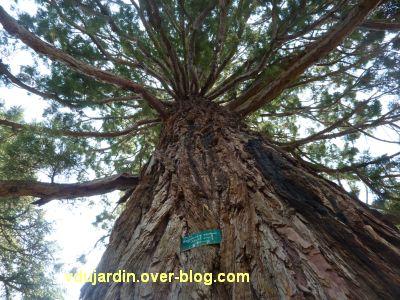 20 mai 2011, des arbres par dessous, Poitiers, vue 5, séquoia foudroyé