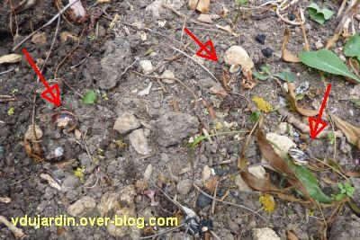 Mon jardin le 4 juin 2011, 4, coquilles d'escargot éclatées par une grive
