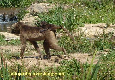 La vallée des singes à Romagne, juillet 2011, une gélada et son petit