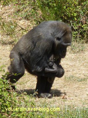 La vallée des singes à Romagne, juillet 2011, une maman gorille et son bébé de 3 semaines