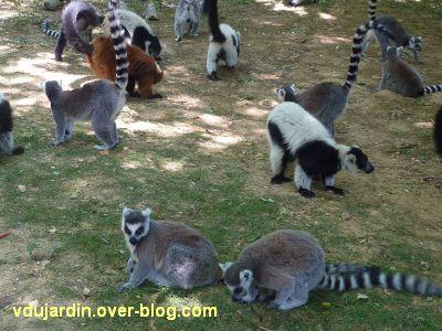 La vallée des singes à Romagne, juillet 2011, des lémuriens