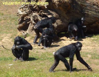 La vallée des singes à Romagne, juillet 2011, le groupe de bonobos
