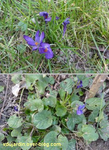 Mon jardin le 14 mars 2012, 2, crocus et violettes