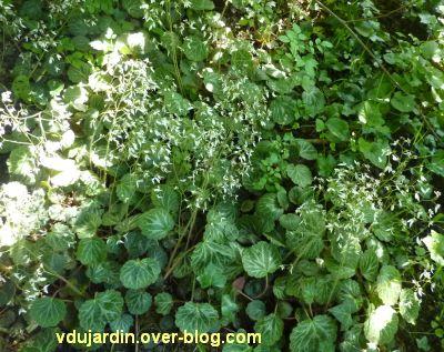 Mon jardin le 17 juin 2012, 2, les saxifrages du Japon