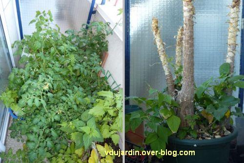 Mon balcon en juillet, 1, tomates et plantes grimpant sur le yucca
