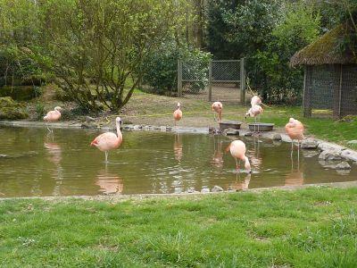 Animaux du Bois-de-Saint-Pierre près de Poitiers : les flamands rose