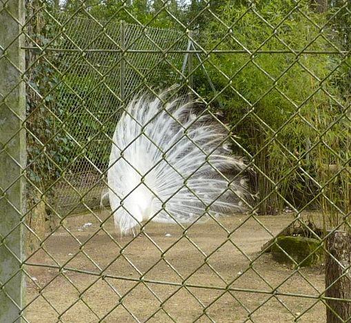 Animaux du Bois-de-Saint-Pierre près de Poitiers : paon blanc