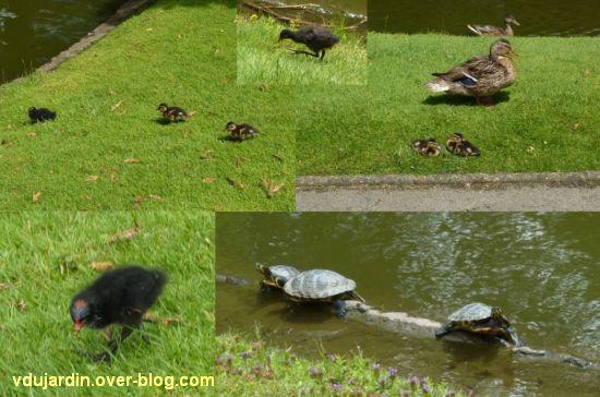 Nantes 2012, le jardin des plantes, 11, canards, poussins et tortues