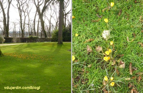 Crocus en fleur, 3 février 2013, parc de Blossac à Poitiers
