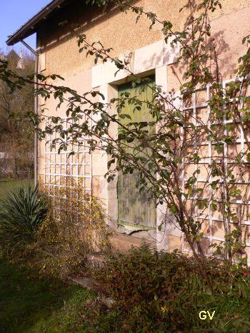 forsythia en fleur, Poitiers, 28 janvier 2013