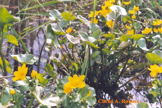 populages des marais ou soucis d'eau, cliché A. Roquet
