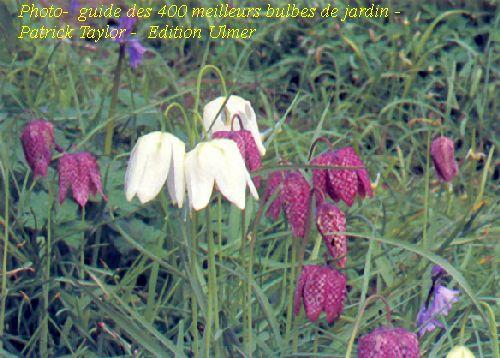 Fritillaires classiques et blanches, Photo-  guide des 400 meilleurs bulbes de jardin – Patrick Taylor -  Edition Ulmer