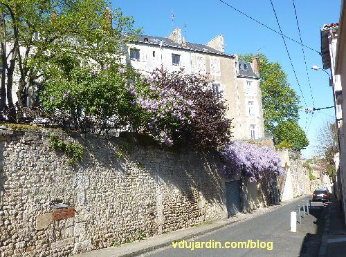 Lilas et glycine en fleur, 9 avril 2014 à Poitiers